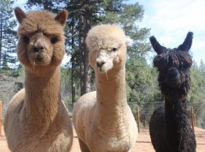 Sierra Rose Alpacas